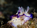 Smelling roses Living moment seems so much easier underwater. our worries selfdoubts stay surface we even take time stop smell like this nudibranch Hypselodoris tryoni. underwater (self-)doubts (self)doubts (self )doubts tryoni). tryoni)