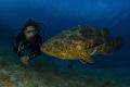 Goliath grouper diver Canon 60D tokina lens 1017mm 10mm two ikelite subtrobe DS125 Seacam housing. 10-17mm 10 17mm housing