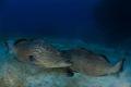 black groupers territorial fighting.nikon D800E tokina 1017mm lens 15mm two ikelite subtrobe DS125 aquatica housing fightingnikon fighting nikon 10-17mm 10 17mm