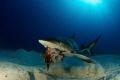caribean reef shark eating lion fish.canon 60D tokina lens 1017mm 10mm two ikelite subtrobe DS125 seam housing. fishcanon fish canon 10-17mm 10 17mm housing