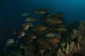 nassau grouper aggregation spawning nikon D2X tokina lens 1017mm 15mm two ikelite subtrobe Ds125 seacam housing. 10-17mm 10 17mm housing