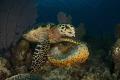 turtle feeding sponge nikon D800E tokina lens 1017mm 15mm. two ikelite subtrobe Ds 125 aquatica housing.cuba gardens queen. 10-17mm 10 17mm 15mm housingcuba housing cuba queen