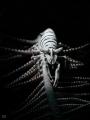 Leopard Crinoid Shrimp Laomenes pardusAnilao Philippines