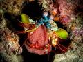 peacock mantis shrimp Odontodactylus scyllarus presenting its offspring