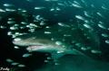 Grey nurse shark greeting us lockdown. Taken Nikon D7000 nauticam housing Byron Bay Australia lockdown