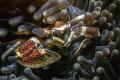Porcelain crab Neopetrolisthes maculatus