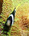 Clarks Anemonefish. Taken Tulamben Bali Anemonefish