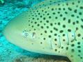 close personal Leopard Shark taken Similan Islands Thailand