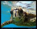 Juvenile Hawksbill Turtle Photo taken near Coco Island Seychelles. Seychelles