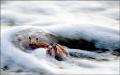 Ghost Crab surf. surf