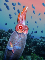 Tropical shallow waters host deep sea guest. Galiteuthis phyllura shot taken CA backdrop 60ft Maui. guest Maui
