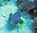 Splended Toadfish Cozumel Mexico. Mexico