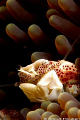 Porcelain crab Neopetrolisthes oshimai. Picture taken pier Dauin Negros. oshimai Negros