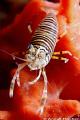 Bumblebee shrimp Gnathophyllum americanum. Picture taken pier Dauin Negros. americanum Negros