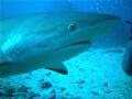 Grey Reef Shark St. Marten 108. Taken Olympus FE 280. St 1/08. 1/08 08. 280