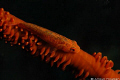 Whip coral goby. Picture taken second reef off Negombo Sri Lanka. goby Lanka