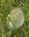 One three sharptail eels cautiously returning jaunt grass. Taken off my dads back porch Roatan D200 105mm macro. grass macro