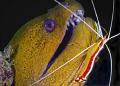 Malaysia Mabul moray eel green symbiotic shrimp cleaner cleaning station macro
