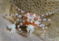 Boxer crab her eggs... eggs