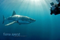 swimming cage great whites water faint hearted but what thrill honor be able do
