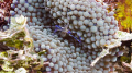 Pederson Cleaner Shrimp Macro Belize