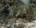 Spotted Burrfish off Reefhouse Resorts pier Roatan Honduras. Honduras