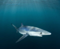 very small blue shark trawling ocean looking food becomes inquisitive when he sees photographer water comes look water-