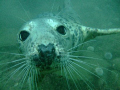 Young grey seal taken Farne Islands.Throughout dive thisseal just wanted play.Taken fuji finepix f30 IslandsThroughout Islands Throughout play. play
