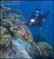 Hawksbill Turtle Sabah Borneo D2x 1224 lens F8 1200th 12-24 12 24 1/200th 200th