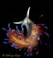 example elegance fragility. nudibranchia Cratena pilgrim photographed along southern coast Sicily. fragility Sicily