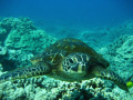 Little honu Hawaii