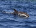 Ambassador Seadolphin dolphins Bottlenose dohphin mammals big fish large Sea/dolphin, Seadolphin, Sea dolphin,