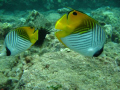Cute Threadfin couple Followed us half dive. Maui dive