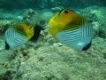 Cute Threadfin couple Followed us half dive. Maui dive