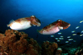 Dual Cuttlefish. Cuttlefish