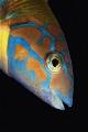 Fishs Thalassoma pavo female