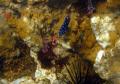 Blue Spotted hiding Sea Urchin