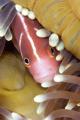 Pink Anenome fish playing hide seek taken Tufi Dive Resort PNG