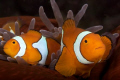 Percula Anenome Fish taken Tufi Dive Resort PNG