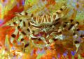 Adams urchin crab taken komodo islands. islands