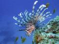 Lionfish blue Pterois miles