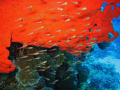 Glass fishes red sponge