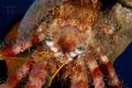 Hermit Crab taken Bodrum Turkey. D300 60mm Macro Woodys diopter. Turkey diopter