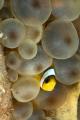 Peek Booo Juvenile clownfish anemone.D7060mm lens twin strobes. anemone. anemone D70-60mm D7060mm D70 60mm strobes