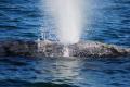 Grey Whale action San Ignacio Baja Sur Mexico