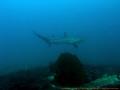 Thresher shark....a bit far but they are really shy....in Island Malapascua sharka shark shyin shy