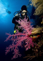 Diver Soft Coral Dedalus Reef Red Sea. Sea