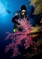 Diver Soft Coral Dedalus Reef Red Sea. Sea