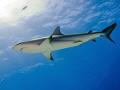 Carribean reef shark swimming past sun