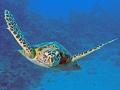 Hawksbill turtle admires itself lens port
